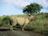 Black Rhinoceros (Rhino), Ceratotherium Simum, Itala Game Reserve, Kwazulu-Natal, South Africa Photographic Print by Ann & Steve Toon