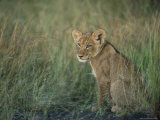 Lion Cub, Panthera Leo, Approximately Two to Three Months Old, Kruger National Park, South Africa Photographic Print by Ann & Steve Toon