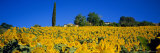 Sunflower Field, Tuscany, Italy, Europe Photographic Print by John Miller