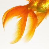 Close-up of a Goldfish Tail Photographic Print by Mark Mawson