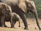 Maternal Group of Elephants, Eastern Cape, South Africa Photographic Print by Ann & Steve Toon