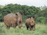 White Rhinoceros (Rhino), Ceratotherium Simum, Mother and Calf, Itala Game Reserve, South Africa Photographic Print by Ann & Steve Toon