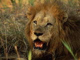 Close-Up of Male Lion (Panthera Leo), Mala Mala Game Reserve, Sabi Sand Park, South Africa, Africa Photographic Print by Sergio Pitamitz