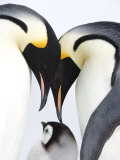 Emperor Penguin (Aptenodytes Forsteri), Chick and Adults, Snow Hill Island, Weddell Sea, Antarctica Photographic Print by Thorsten Milse