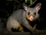 Common Brushtail Possum, (Trichosurus Vulpecula), Pebbly Beach, New South Wales, Australia Photographic Print by Thorsten Milse