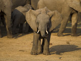 Baby Elephant, Eastern Cape, South Africa Photographic Print by Ann &amp; Steve Toon