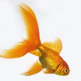 Goldfish Photographic Print by Mark Mawson