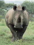 White Rhinoceros (Rhino), Ceratotherium Simum, Mkuze Nature Reserve, Kwazulu-Natal, South Africa Photographic Print by Ann & Steve Toon