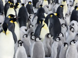 Emperor Penguin (Aptenodytes Forsteri), Chicks in Colony, Snow Hill Island, Weddell Sea, Antarctica Photographic Print by Thorsten Milse