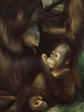 Orang Utan Mother and Baby, Pongo Pygamaeus, in Captivity, Singapore Zoo, Singapore Photographic Print by Ann & Steve Toon