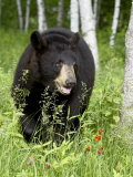 Captive Black Bear (Ursus Americanus), Sandstone, Minnesota Photographic Print by James Hager