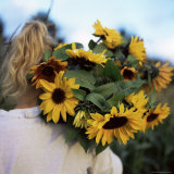 Sunflowers Being Carried by Grower, Washington State, USA Photographic Print by Aaron McCoy