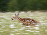 Captive Whitetail Deer Fawn Running Through a Field of Wildflowers, Sandstone Photographic Print by James Hager