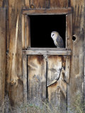 Captive Barn Owl (Tyto Alba) in Barn Window, Boulder County, Colorado Photographic Print by James Hager