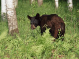 Black Bear Cub (Ursus Americanus), in Captivity, Sandstone, Minnesota, USA Photographic Print by James Hager