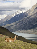 Guanaco (Lama Guanicoe) with Mountains and Lago Nordenskjsld in Background, Chile, South America Photographic Print by James Hager