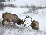Two Bull Elk (Cervus Canadensis) Sparring in the Snow, Jasper National Park, Alberta, Canada Photographic Print by James Hager