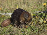 Captive Beaver (Castor Canadensis), Minnesota Wildlife Connection, Sandstone, Minnesota, USA Photographic Print by James Hager