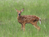 Whitetail Deer Fawn (Odocileus Virginianus), 21 Days Old, in Captivity, Minnesota, USA Photographic Print by James Hager
