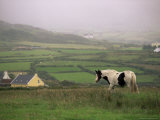 Tinker Horse Near Allihies, Beara Peninsula, County Cork, Munster, Republic of Ireland (Eire) Photographic Print by Patrick Dieudonne