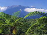 Tree Ferns in Foreground, Island of Borneo, Malaysia Photographic Print by Robert Francis