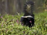 Striped Skunk with Tail Up, Minnesota Wildlife Connection, Sandstone, Minnesota, USA Photographic Print by James Hager
