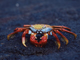 Sally Lightfoot Crab, Fernandina Island, Galapagos Islands, Ecuador, South America Photographic Print by James Hager
