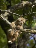 Young Bobcat Hanging onto a Branch, Minnesota Wildlife Connection, Sandstone, Minnesota, USA Photographic Print by James Hager