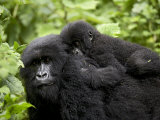Adult Female Mountain Gorilla with Infant Riding on Her Back, Amahoro a Group, Rwanda, Africa Photographic Print by James Hager