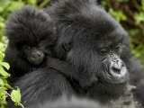 Infant Mountain Gorilla Clinging to Its Mother's Neck, Amahoro a Group, Rwanda, Africa Photographic Print by James Hager