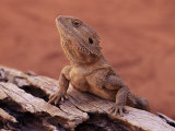 Central Bearded Dragon in Captivity, Alice Springs, Northern Territory, Australia, Pacific Photographic Print by James Hager