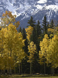Fall Colors of Aspens with Evergreens, Near Ouray, Colorado Lámina fotográfica por James Hager