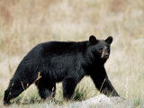 Black Bear (Ursus Americanus), Outside Glacier National Park, Montana Photographic Print by James Hager