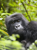 Adult Female Mountain Gorilla (Gorilla Gorilla Beringei), Group 13, Rwanda, Africa Photographic Print by James Hager