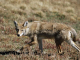 Coyote (Canis Latrans), Rocky Mountain National Park, Colorado Photographic Print by James Hager