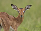 Young Impala Looking at the Camera, Addo Elephant National Park, South Africa, Africa Photographic Print by James Hager