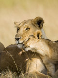 Lioness and Cub Showing Affection, Masai Mara Game Reserve, Kenya, East Africa, Africa Photographic Print by James Hager