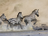 Zebra Crossing the Mara River, Masai Mara National Reserve, East Africa, Africa Photographic Print by James Hager