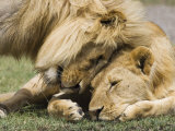 Adult Male Lion Greeting His Son, Serengeti National Park, Tanzania, East Africa, Africa Fotodruck von James Hager