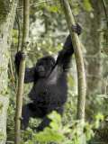 Young Mountain Gorilla Playing in the Trees, Amahoro a Group, Rwanda, Africa Photographic Print by James Hager