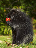 Capitive Porcupine (Erethizon Dorsatum) Sitting on Hind Feet Eating an Apple, Sandstone, Minnesota Photographic Print by James Hager