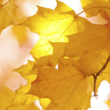 Autumn Leaves in Soft Sunshine III Print