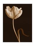 Danse de tulipes Posters