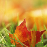 Red Leaf on Grass Photo
