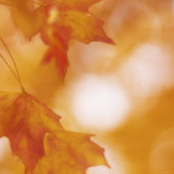 Autumn Leaves in Soft Sunshine I Prints
