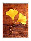 Yellow Ginkgo Leaves Posters