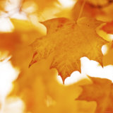 Autumn Leaves in Soft Sunshine II Posters
