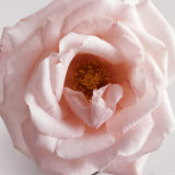 Powder Pink Rose III Poster