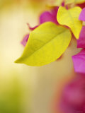 Bougainvillea Posters