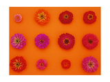 Pinks and Reds on Sunset Orange, Zinnia Family Affiche
